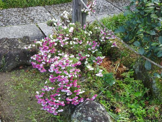 瑞泉寺境内の小菊