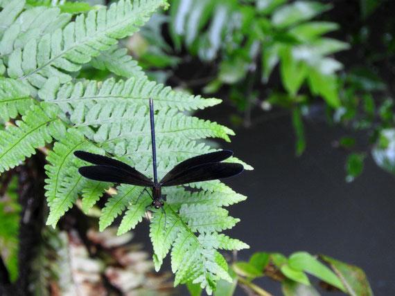 初夏の羽黒蜻蛉