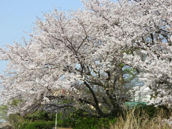 散策路の桜風景