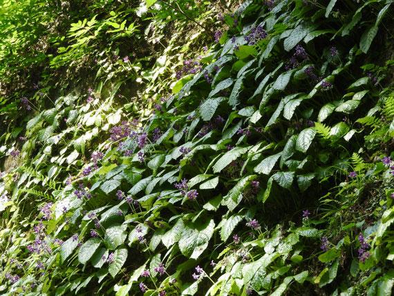 東慶寺岩煙草が咲く、参道の崖