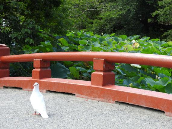旗上弁財天社の源氏池をまたぐ橋欄干と鳩