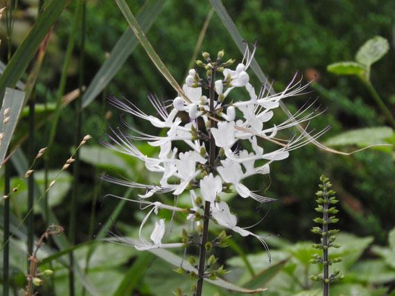 ブラフ99ガーデン内の花、クレオメ