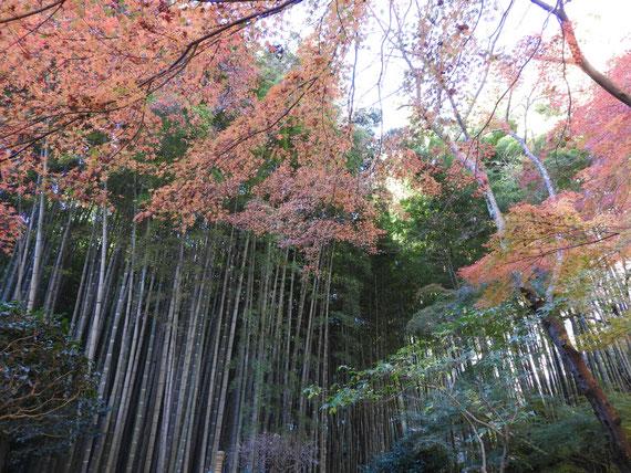 竹の庭の紅葉