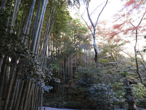 報国寺竹の庭の、竹林