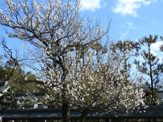 鶴岡八幡宮の白梅