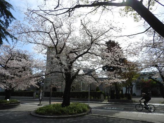 元町公園の桜越しの、山手聖公会