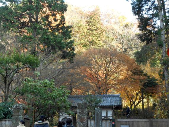 明月院、総門付近の紅葉