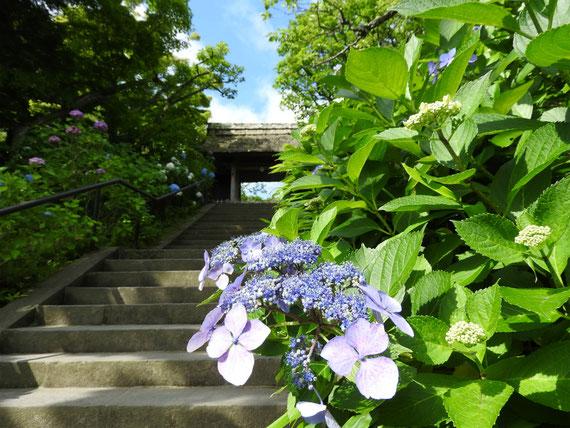 山門の紫陽花