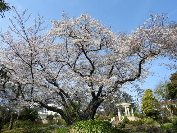 文学館側から公園の桜をを望む