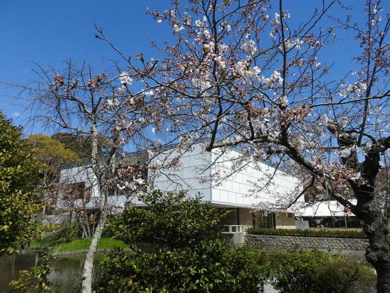 桜越しにみる旧近代美術館