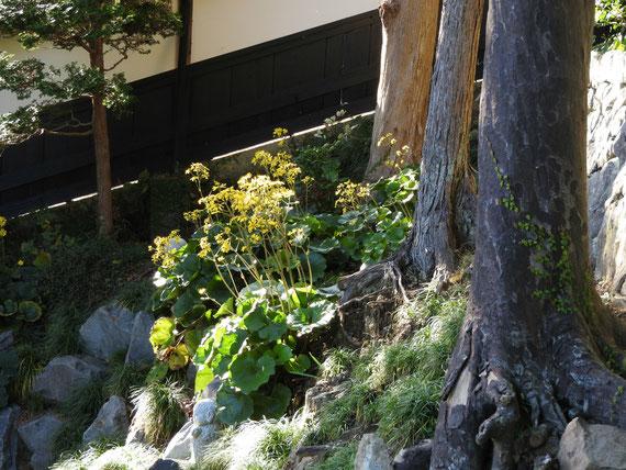 修行道場への小路、石蕗の花