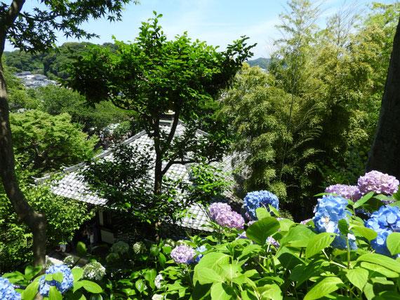 経堂と紫陽花 アジサイロードから 160610撮影