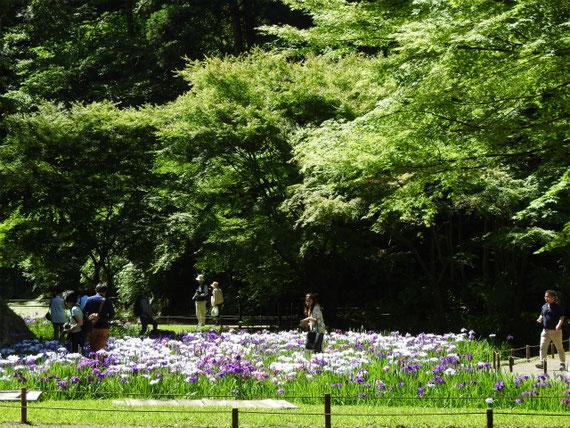 本堂後ろ庭園の花菖蒲