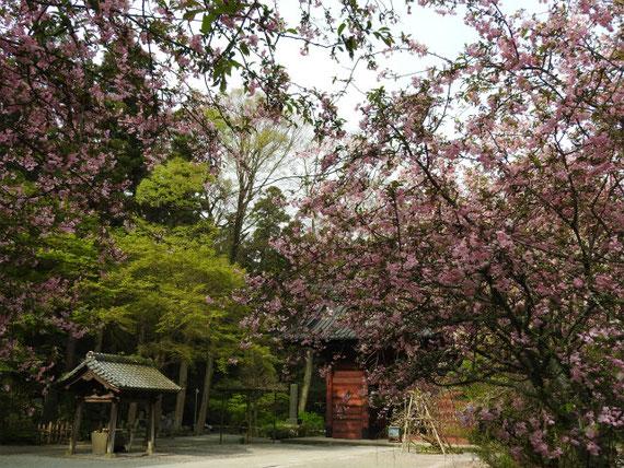 境内から水屋、二天門と、海棠の花