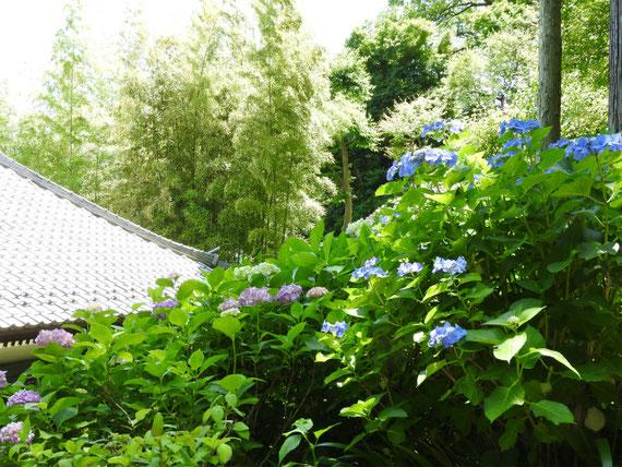 紫陽花と経堂の屋根