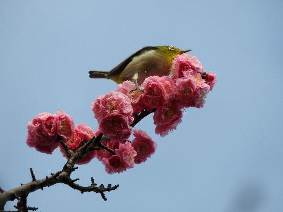 花桃の花とメジロ 散策路
