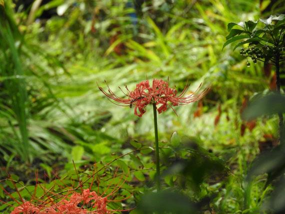 仏殿後ろの庭園に咲く、曼珠沙華