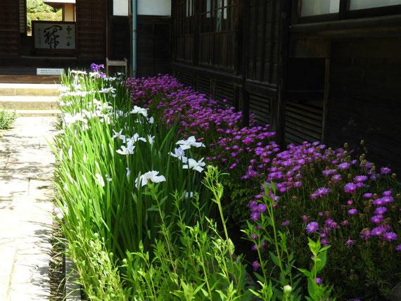 本堂前の、花菖蒲と松葉菊