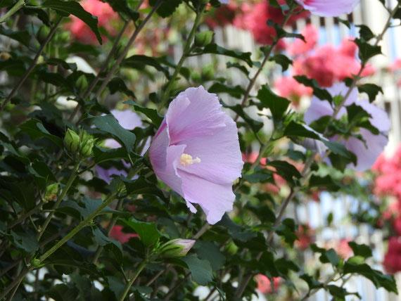 鎌倉、岐れ路付近の、木槿