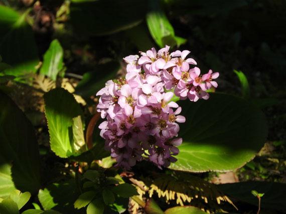 松ヶ岡宝蔵の前に咲く、ヒマヤラユキノシタ