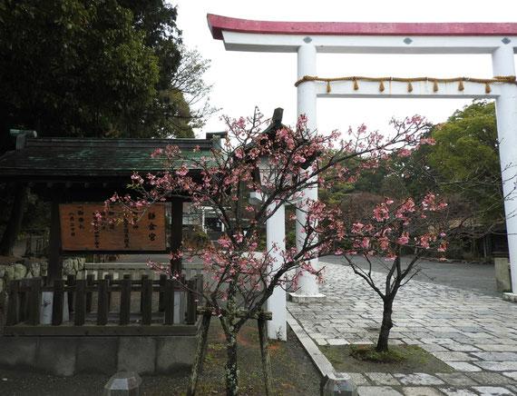 鎌倉宮の鳥居と川津桜