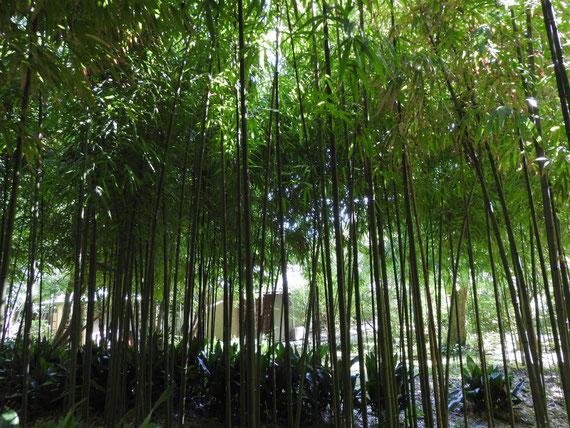 書院前の竹林