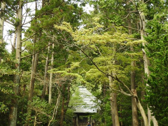 4月、新緑の樹木につつまれる参道。 神秘的な参道です。