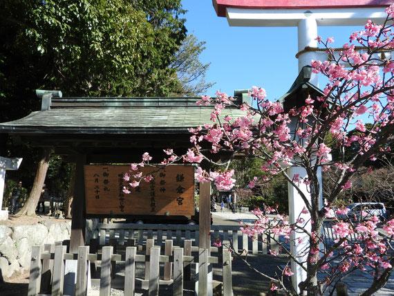 河津桜が満開の鎌倉宮鳥居
