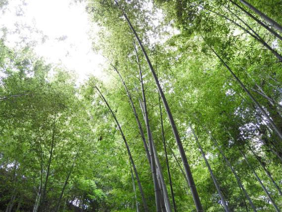 竹林・・・春の竹