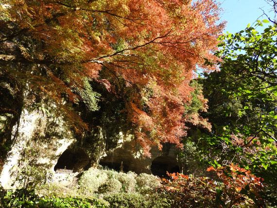 裏庭園から観る、紅葉の足利氏のやぐら