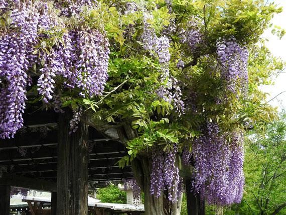 長谷寺の藤の花 160429撮影