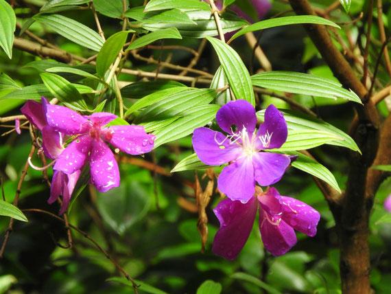 仏殿後ろの庭園に咲く、紫紺野牡丹