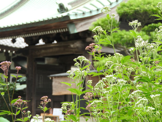 山門の藤袴 161002撮影