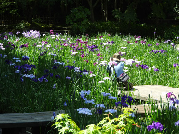 本堂後庭園の花菖蒲園