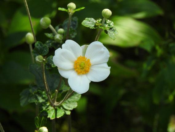 東慶寺の秋明菊 160909撮影