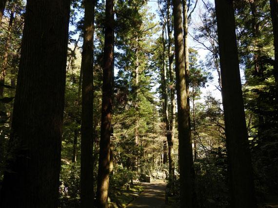墓苑から降りる参道の樹木