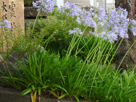 7月、大巧寺前に咲く、紫君子蘭