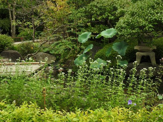 長谷寺日本庭園と藤袴