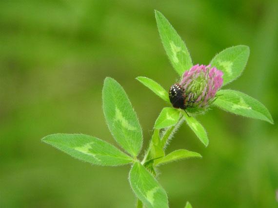 赤詰草と白十字星瓢虫