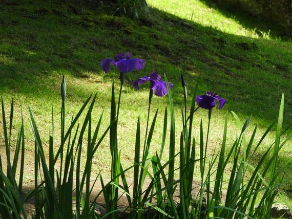 妙香池の花菖蒲