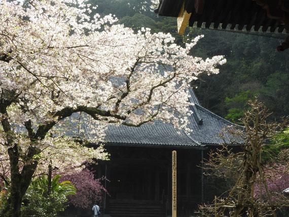 桜と海棠に囲まれた祖師堂
