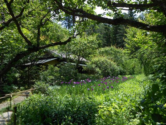 春の花菖蒲が咲いていた境内の庭。よかったですよ。明月院の花菖蒲より自然な感じです