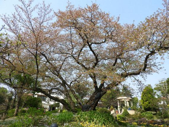 公園内の、桜と広場