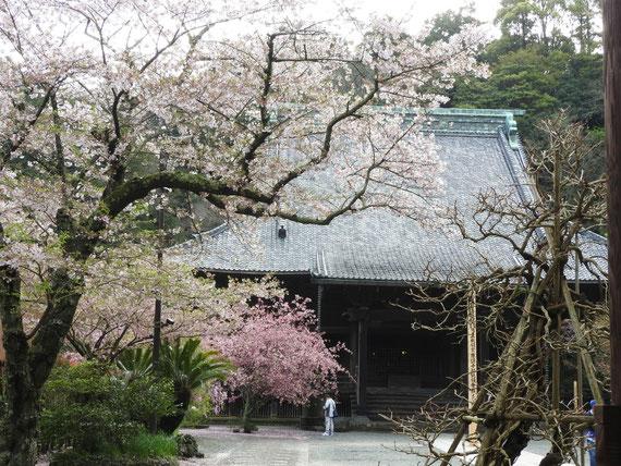 桜と祖師堂