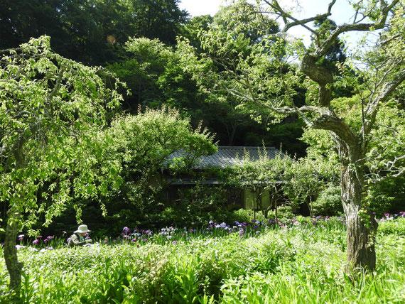 白蓮舎と花菖蒲