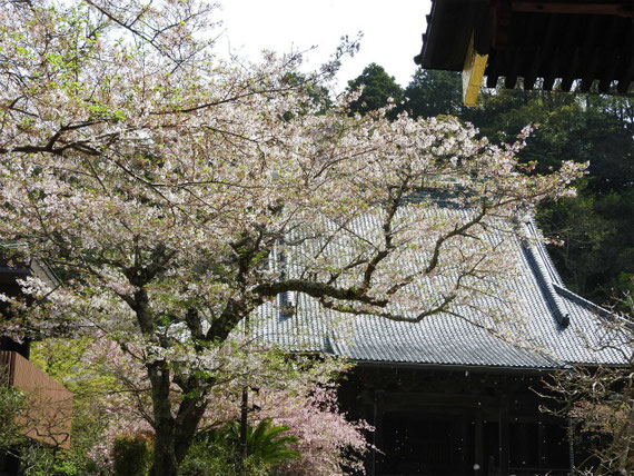 二天門と桜と祖師堂