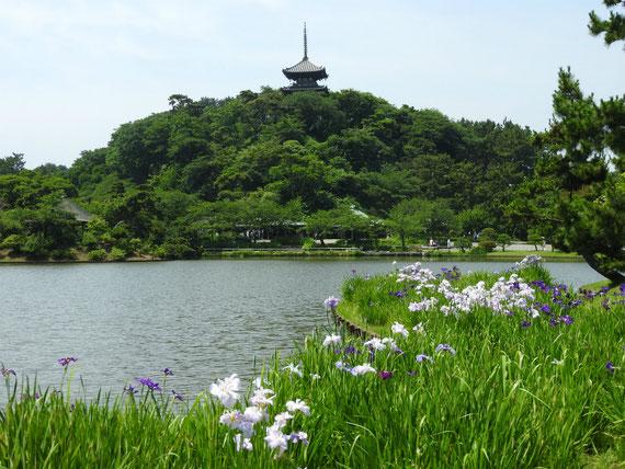 大池の花菖蒲と三重塔