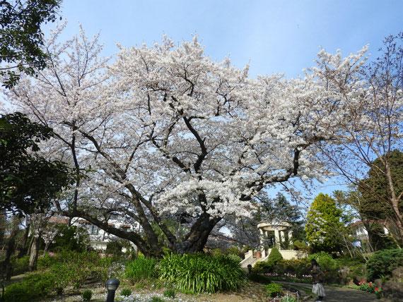 文学館側から公園内の桜をみる