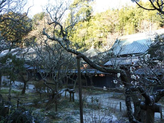 白梅と東慶寺本堂