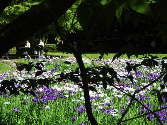 明月院の花菖蒲 160602撮影